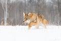 Coyote running low in deep snow
