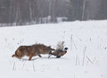 Coyote running snow chasing ring necked pheasant rooster soft focus predator prey Stock Images