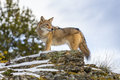 Coyote a searches for a meal in the snowy mountains of montana Royalty Free Stock Photos