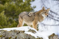 Coyote a searches for a meal in the snowy mountains of montana Royalty Free Stock Image