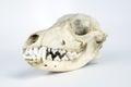 Coyote Skull Taxidermy