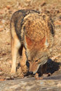 Coyote smelling for carcass Royalty Free Stock Photo