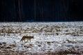 Coyote in a snow field - Yosemite National Park, California, USA