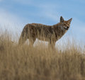 Coyote standing in high grass overlooking the meadow Stock Photo