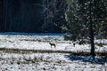 Coyote and tree in a snow field - Yosemite National Park, California, USA