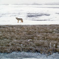 Coyote in Winter Stock Image