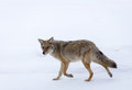 Coyote a during the winter Stock Photo