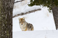 Coyote in winter at yellowstone national park Stock Photography