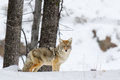 Coyote in winter at yellowstone national park Royalty Free Stock Image