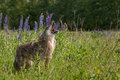 Coyote Canis latrans Stands Howling in Lupin Patch Royalty Free Stock Photo