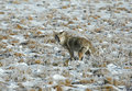 Coyote in yellowstone national park hunting for rodents Stock Photos