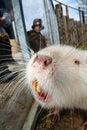 Coypu beaver rodent Royalty Free Stock Image