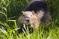 Coypu in camargue nutria or myocastor coypus Royalty Free Stock Photo