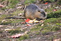 Coypu the eating in the soil Royalty Free Stock Photos