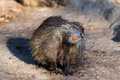 Coypu (Myocastor coypus) Royalty Free Stock Images