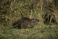 Coypu myocastor coypus single mammal in water france Stock Photo