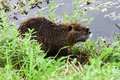 Coypu myocastor coypus swimming in a pond Stock Photos