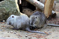 Coypu or nutria nutrias river rats myocastor coypus Stock Photos