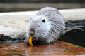 Coypu or nutria nutrias river rats myocastor coypus Stock Images
