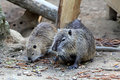 Coypu or nutria nutrias river rats myocastor coypus Royalty Free Stock Photography