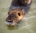 Small muskrat in the water.