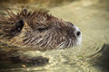 Coypu in the water inside of park animals of pyrenees Royalty Free Stock Photos