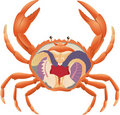Crab anatomy Royalty Free Stock Image