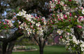 Crab apple blossoms beautiful cover the trees in a spring garden in indiana Stock Photos