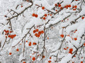Crab apple after snowfall Royalty Free Stock Photo