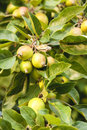 Crab apples Royalty Free Stock Photo