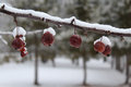 Crab apples covered with snow six frozen partially Royalty Free Stock Images
