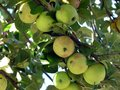 Crab apples ripening on a tree branch on hot summer day Royalty Free Stock Image
