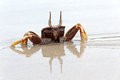 Crab awesome position sand thailand Royalty Free Stock Photo