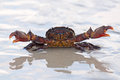 Crab in awesome position in sand thailand Stock Photos