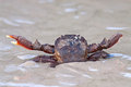 Crab in awesome position in sand thailand Royalty Free Stock Photo
