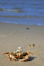 Crab on a beach background in the sand dutch Royalty Free Stock Photo