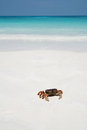 Crab on beach thailand clean Stock Image