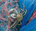 Crab caught in fishing nets Royalty Free Stock Photo
