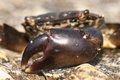 Crab claw close up of a pachygrapsus marmoratus Stock Image