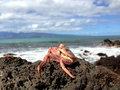 Crab on the coastline of maui red rocky island hawaii u s a Royalty Free Stock Photo