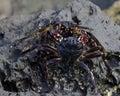 Crab Combat
