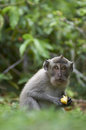 Crab-eating macaque (Macaca fascicularis) Royalty Free Stock Photo