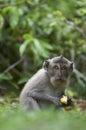 Crab-eating macaque (Macaca fascicularis) Royalty Free Stock Photo