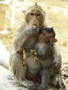 Crab eating macaque macaca irus family mother and baby Royalty Free Stock Photography