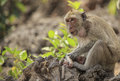 Crab eating macaque macaca irus family mother and baby Royalty Free Stock Photo