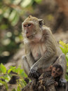 Crab eating macaque macaca irus family mother and baby Royalty Free Stock Images
