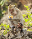 Crab eating macaque macaca irus family mother and baby Stock Image