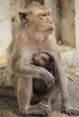 Crab eating macaque macaca irus family mother and baby Royalty Free Stock Photos
