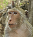 Crab eating macaque macaca irus monkey close up Royalty Free Stock Image