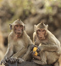 Crab eating macaque macaca irus monkey corn Stock Images